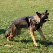 Stock Photo: Aggressive germshepherd