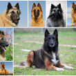 Belgian shepherd tervueren — Stock Photo