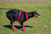 Dangerous doberman — Stock Photo
