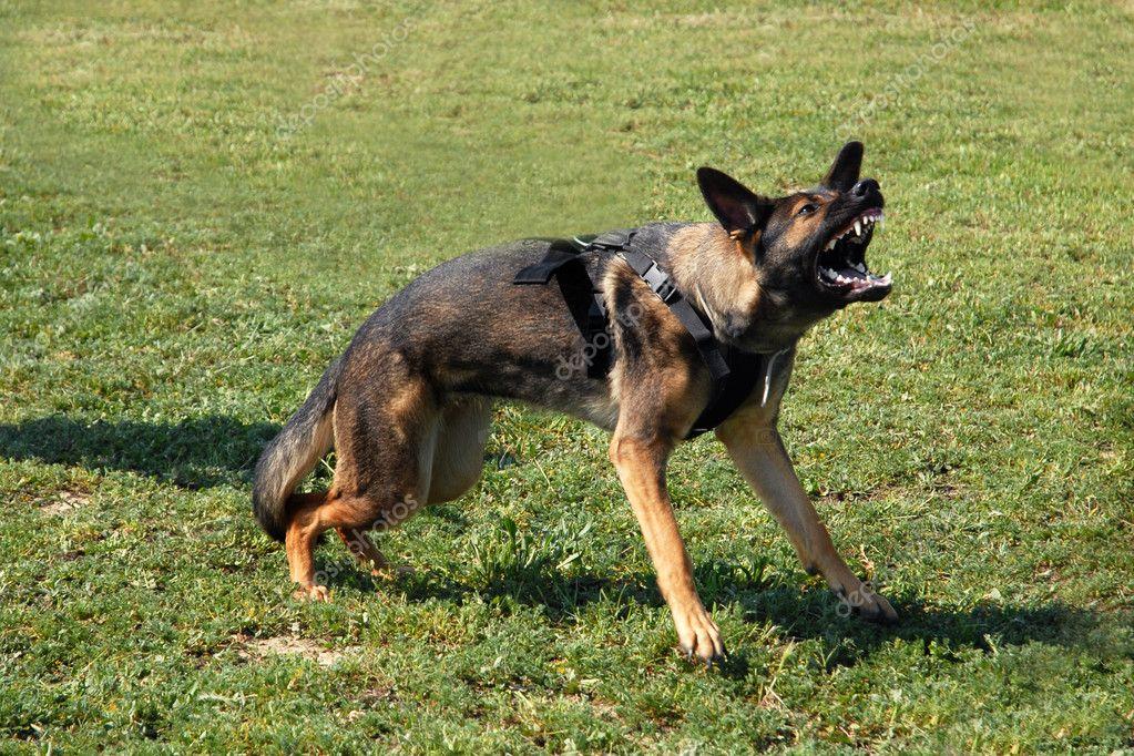 german shepherd growling - photo #34