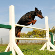 Stock Photo: Dobermin agility