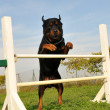 Rottweiler in agility — Stock Photo #8754692
