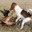 Stock Photo: Playing dogs