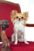Chihuahua on chair — Stock Photo