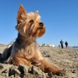 Yorkshire terrier on the beach — Stock Photo