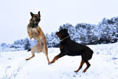 Dogs in snow — Stock Photo
