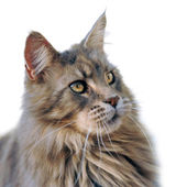 Maine coon — Stock Photo