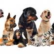group of dogs — Stock Photo