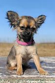 Chihuahua cucciolo — Foto Stock