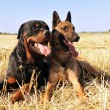 Malinois and rottweiler - Foto de Stock