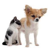 Puppy chihuahua and kitten — Stock Photo