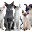 Oriental and siamese cats — Stock Photo #9346779