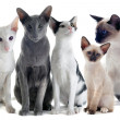 Oriental and siamese cats - Stock Photo