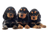 Puppies english cocker — Stock Photo