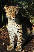 Amur leopard — Stock Photo