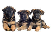 Puppies german shepherds — Stock Photo