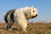 Gamla svenska sheepdog — Stockfoto