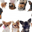 Group of little dogs — Stock Photo