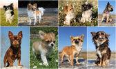 Chihuahuas — Stock Photo