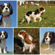 Cavalier king charles — Stock Photo