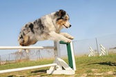 Jumping australian shepherd — Stock Photo