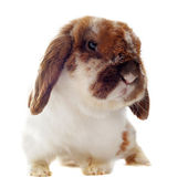 Lop Rabbit — Stock Photo