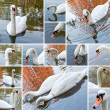 Swan collage — Stock Photo
