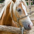 Pony horse portrait - Stock Photo