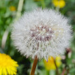 Dandelion head - Foto Stock