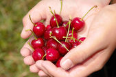 Picking cherries — Stock Photo