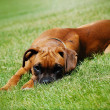 Young Puppy Boxer laying in the grass — Stock fotografie