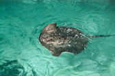 Thorny scate .Sea ray — Stock Photo