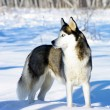 Chukchi husky breed dog on winter background - Stock Photo