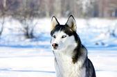 Close-up portrait of Chukchi husky breed dog on winter backgrou — Stock Photo