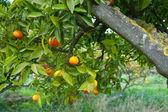 спелых апельсинов — Стоковое фото