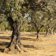 Olive trees - Stock Photo
