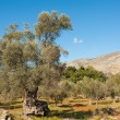 Olive grove — Stock Photo #9091923
