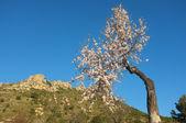 Flowering almond tree — Stock Photo