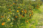 Orange grove — Stock Photo