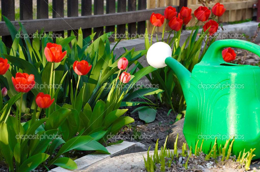 Watering can among red tulips in yard  Stock Photo #8175165
