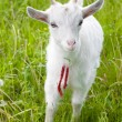 Stock Photo: Cute goatling