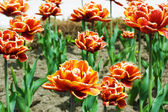 Red tulips flowerbed — Stock Photo