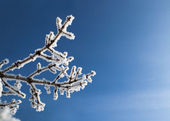 Snow covered branch — Stock Photo