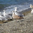Seagulls on the sea - Stock Photo