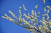 Branch of plum blossom — Stock Photo