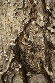 Pelecanus occidentalis californicus — Foto Stock