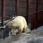 Polar bear — Stock Photo #9193023