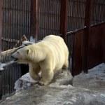 Polar bear — Stock Photo #9193027