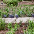 Guinea Fowl - Stock Photo