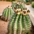 Barrel cactus — Stock Photo #10304581